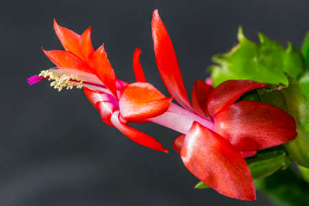 Details (focus stacking) of a beautiful orange-red double flower of a holiday cactus (Schlumbergera)