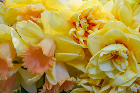 Details of both single as filled yellow flowers of the trumpet Daffodil