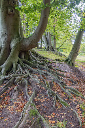 A row of very old beech trees with beautiful roots, Wassenaar, Netherlands Banque d'images