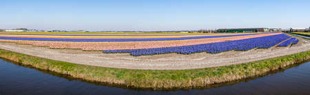 Panorama picture of a very colorful bulbs field near Noordwijkerhout, Netherlands