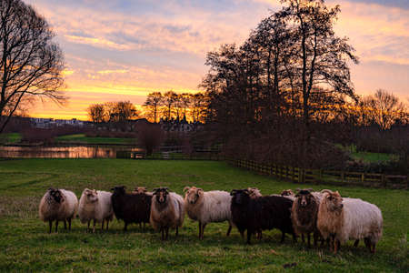 The sheep seem to have no interest in the magnificent rising sun that seems to set the sky ablaze above the park De Weidse Weide in Zoetermeer, Netherlands
