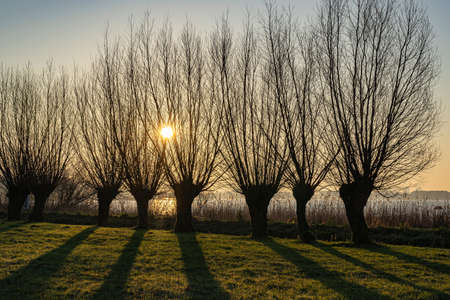The low morning sun behind these willows gives long shadows on the grass Stock fotó - 155450336