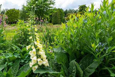 This white common foxglove or Digitalis purpurea, stands prominent among other flowering plants in a beautiful shaped garden near the village of Harkstede in Groningen