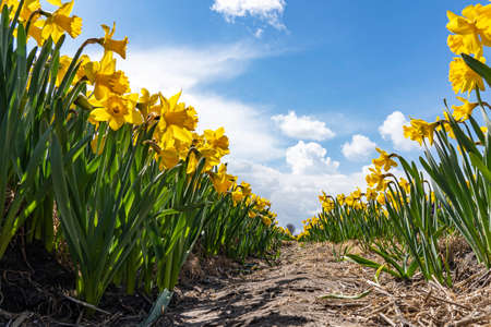 Long rows of sunlit yellow wild daffodils under an exciting cloudy sky