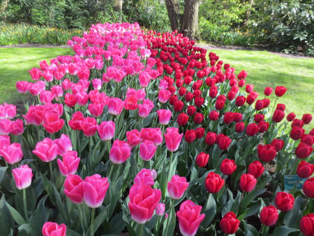 holland: Keukenhof Tulip Garden in Holland
