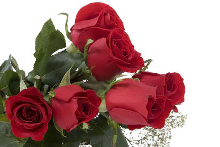 pflanze: red roses