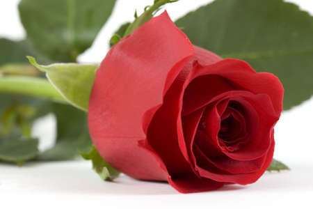 pflanze: red rose Stock Photo