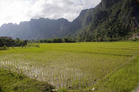 rice field: rice field in Laos