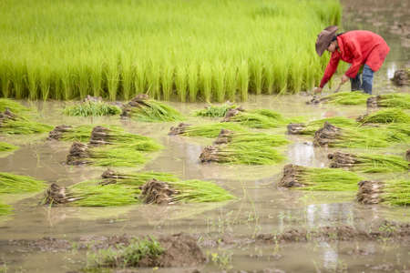 Work on the rice field photo