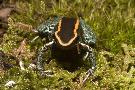 arrow poison: exotic frog Stock Photo