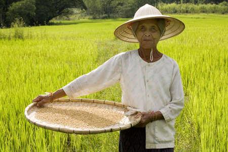 Rice Harvest Stock Photo - 2722475