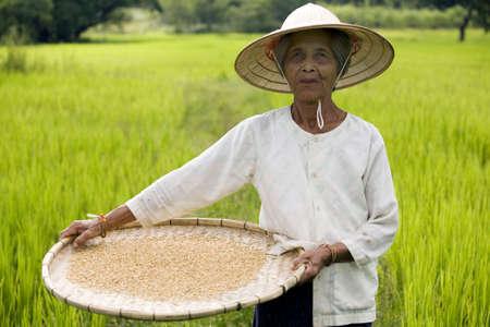 agronomics: Rice Harvest