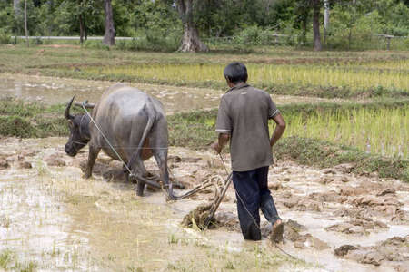 the plough: Plough with water buffalo