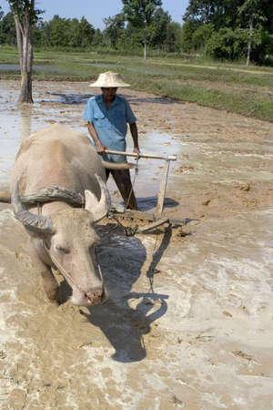 plough: Plough with water buffalo