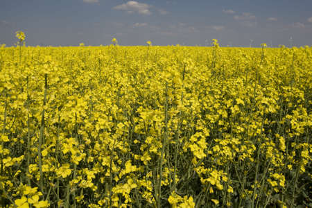 rapeoil: rape field