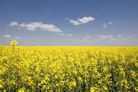 rapeoil: rape field with beautiful spring weather Stock Photo