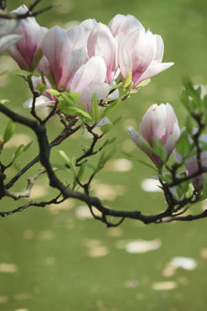 Magnolia in spring photo