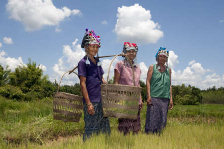 Asian women in the rice field, Akha, agriculture in Thailand photo