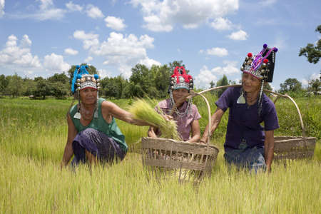 rice field: Asian women in the rice field, Akha, agriculture in Thailand Stock Photo