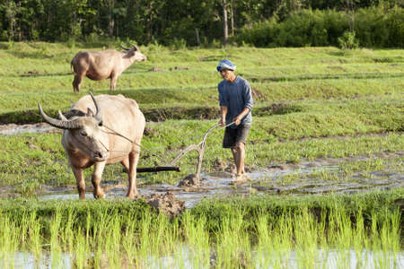 Plough with water buffalo, rice field Asia Stock Photo