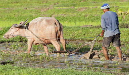 working animal: Plough with water buffalo, rice field Asia Stock Photo