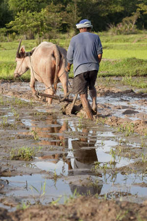 the plough: Plough with water buffalo, rice field Asia Stock Photo