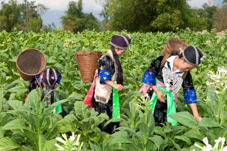 Hmong Asiens ernten Tabak