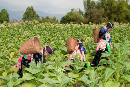 Hmong of Asia harvest tobacco Stock Photo - 6535099