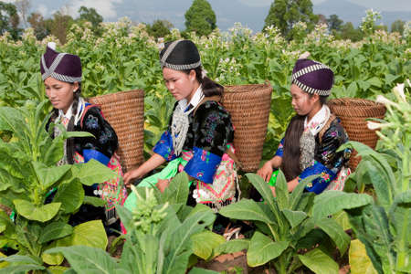 Hmong of Asia harvest tobacco Stock Photo - 6535086