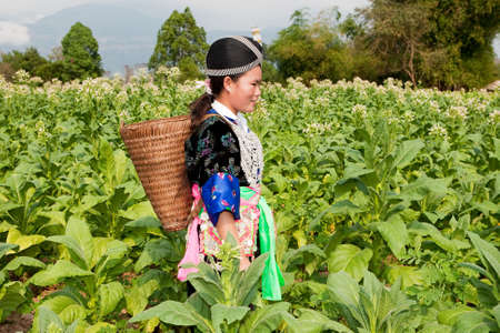 harvests: Hmong of Asia harvests tobacco
