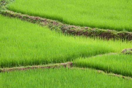 ricefield: green ricefield