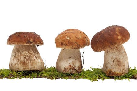 bolete: Bolete, group of mushrooms
