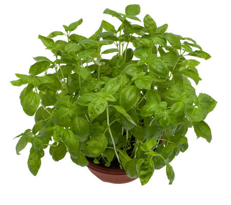 Basil, fresh herbs growing in pot against white background photo