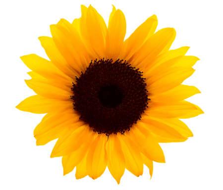 sunflower isolated: Sunflower isolated