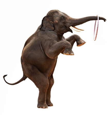 acrobacia: Elefante acrob�ticas aislado