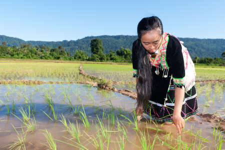 miao: Hmong works on rice paddy