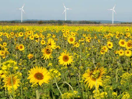 sunflower and wind turbine photo