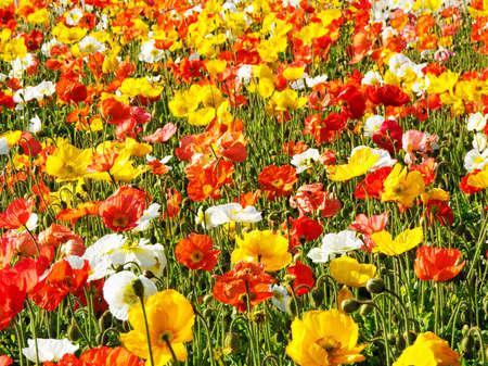 virágágy: több színű virágágyás