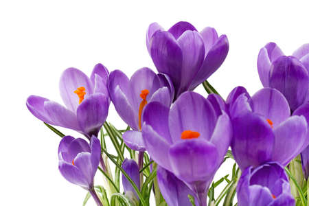 crocus: crocus Stock Photo