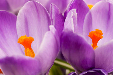 crocus Stock Photo - 12473493