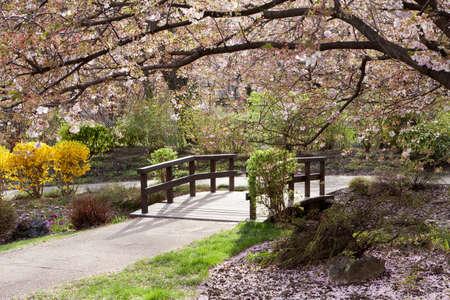 arbol cerezo: cerezo en primavera