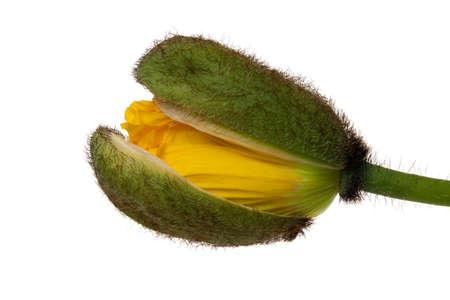 corn poppy Stock Photo - 13101203