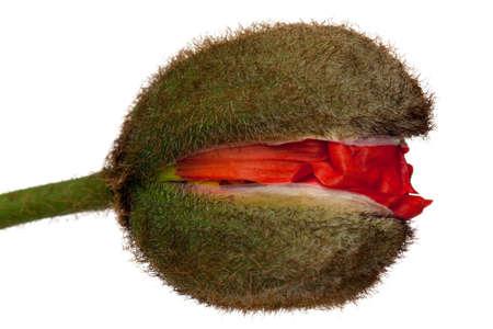 corn poppy Stock Photo - 13101206