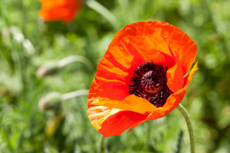 red corn poppy Stock Photo - 13707899