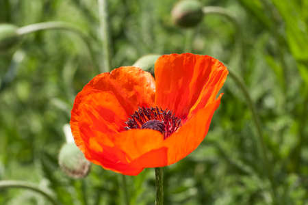 red corn poppy Stock Photo - 13707896