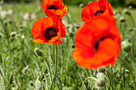 red corn poppy Stock Photo - 13707898