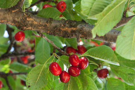 cherry tree: cherry tree with red fruits Stock Photo