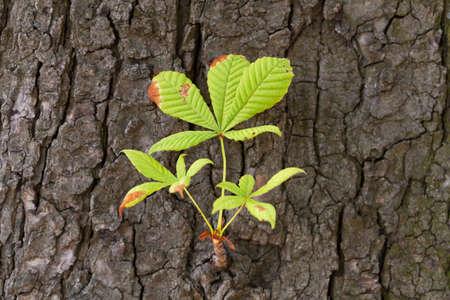 chestnut tree: chestnut tree with fresh twig