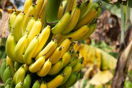 banana tree: banana