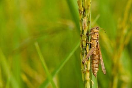rice plant: cricket on rice plant
